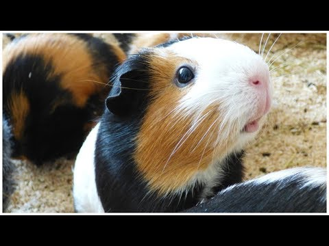 signs-your-guinea-pig-is-angry