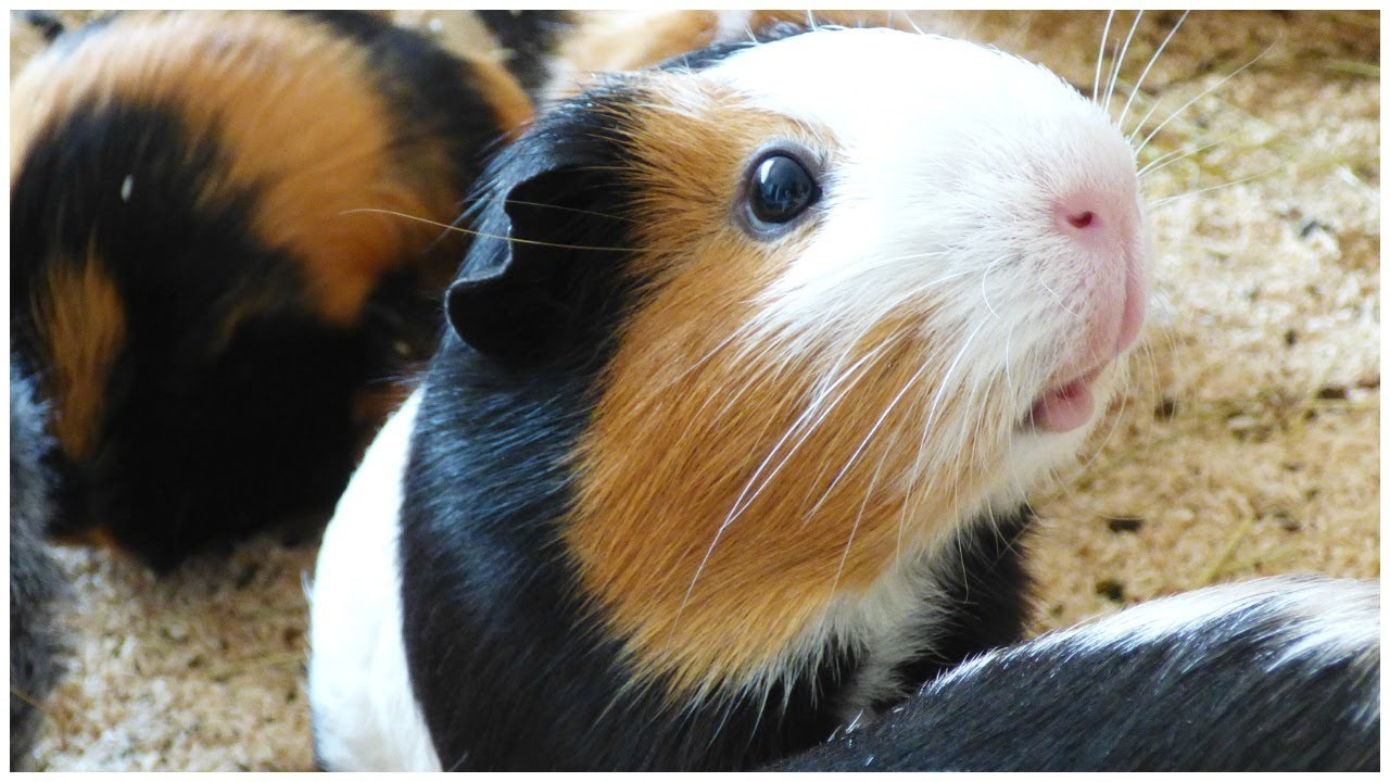 Signs your guinea pig is angry youtube for Free guinea pig stuff