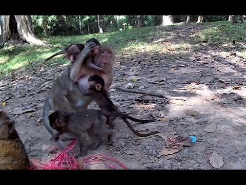 Real life of baby monkey with mom - Episode 02