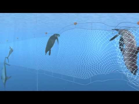 How Seafood is Caught: Gillnetting