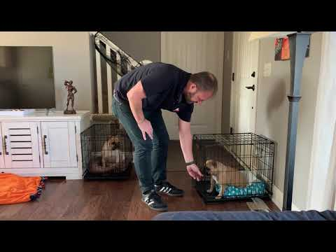 Kennel Training Tips For Lilo The Frenchie