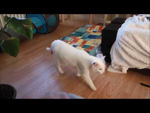 Siamese Cats talking/howling after delicious raw diet meal (funny reaction)