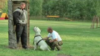 Good Training With Dogo Argentino - Bite Work
