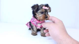 Charming Teacup Female Yorkie Puppy by PuppyHeaven.com
