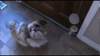 Dog Rings Bell To Go Outside - Shih Tzu Training