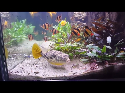 Live Eartworms And New Tankmates For The Fahaka Puffer/Tetraodon Lineatus