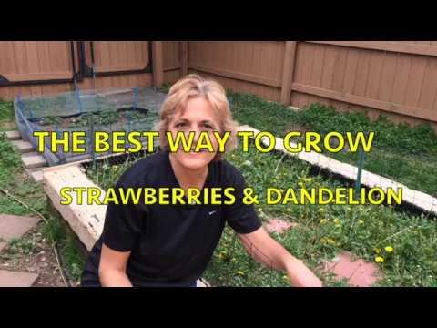 BEST WAY TO GROW STRAWBERRIES & DANDELION