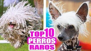 LOS 10 PERROS MÁS RAROS DEL MUNDO! TOP RAZAS MÁS EXÓTICAS #TopTen SandraCiresArt