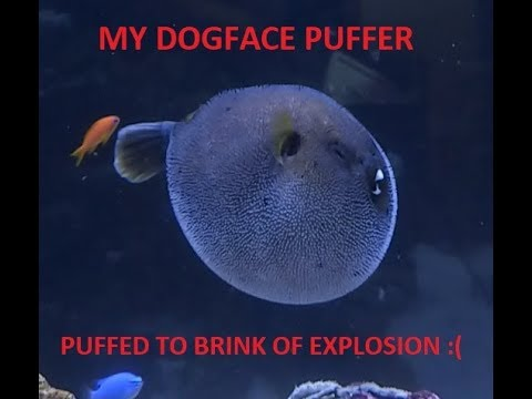 Dogface Puffer Fish PUFFING UP To The Brink Of Exploding - Inflated - Scary - RARE - Aquarium Life