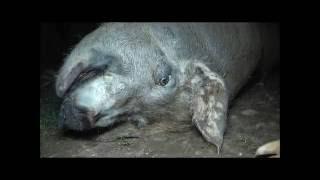 """Olocausto Animale nei paesi democratici e """"civili"""""""