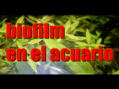 Biofilm en el acuario