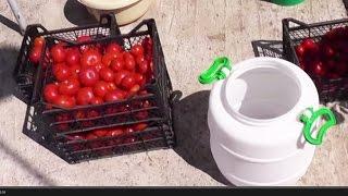 Как солить ПОМИДОРЫ в БОЧКЕ /  Квашеные помидоры своими руками