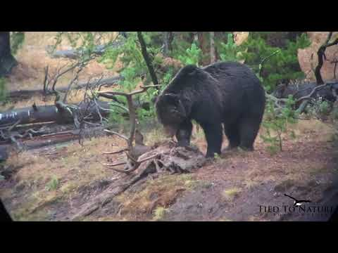 Grizzly Steals Bull Elk Killed by Another Bear at Yellowstone National Park