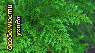 Араукария — домашняя ель. Секреты и особенности выращивания.