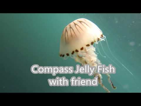 Marine life in Falmouth Bay, Cornwall