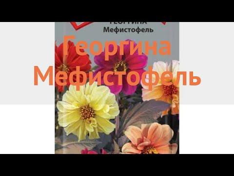 Георгина обыкновенный Мефистофель (mefistofel) 🌿 обзор: как сажать, семена георгины Мефистофель