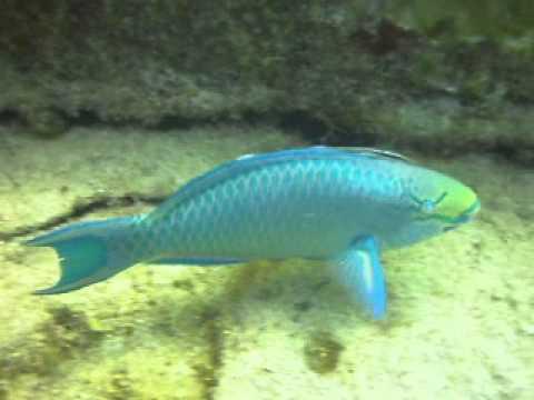 Queen Parrotfish, Scarus Vetula