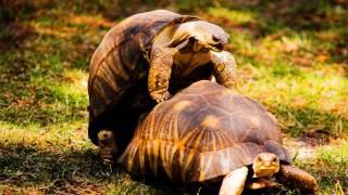 Turtle sex!