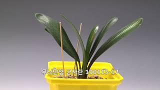 난꽃21 무늬단엽 군자란 14~18