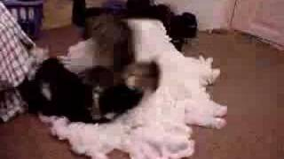 Marvin and Thomas Cat Fight