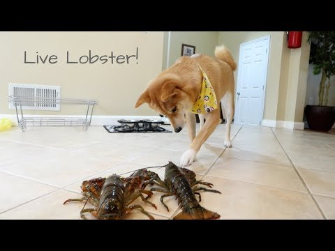 When a Shiba Inu meets a LIVE Lobster... | Taste It Tuesday
