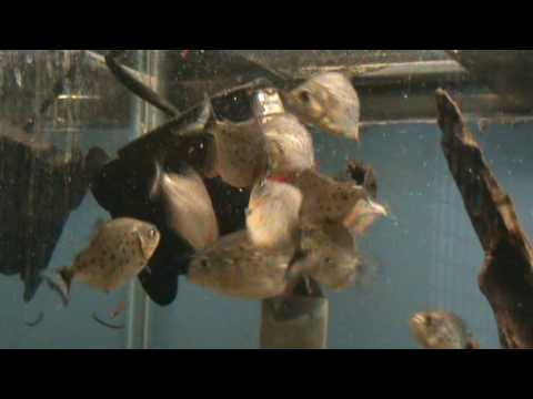 Piranha for sale and feeding on bloodworm at Tyne Valley Aquatics
