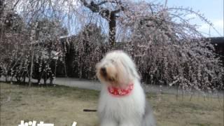 小田原フラワーガーデンに梅を観に行ってきました。 オールドイングリッ...
