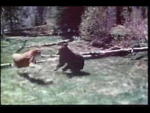 mountain lion vs grizzly bear puma vs oso П�ма vs