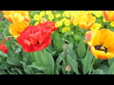 "Мои любимые тюльпаны (пиончики) ""Миранда"""
