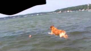 Golden Retriever Dock Jumping