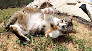 寝転んだままでオモチャを捕まえようとする怠惰なキジシロ猫