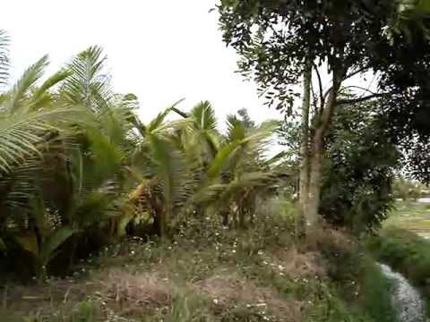 vườn dừa cây, cây dừa giống
