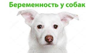 Беременность У Собак & На Что Стоит Обратить Внимание при Беременности Собаки. Ветклиника Био-Вет