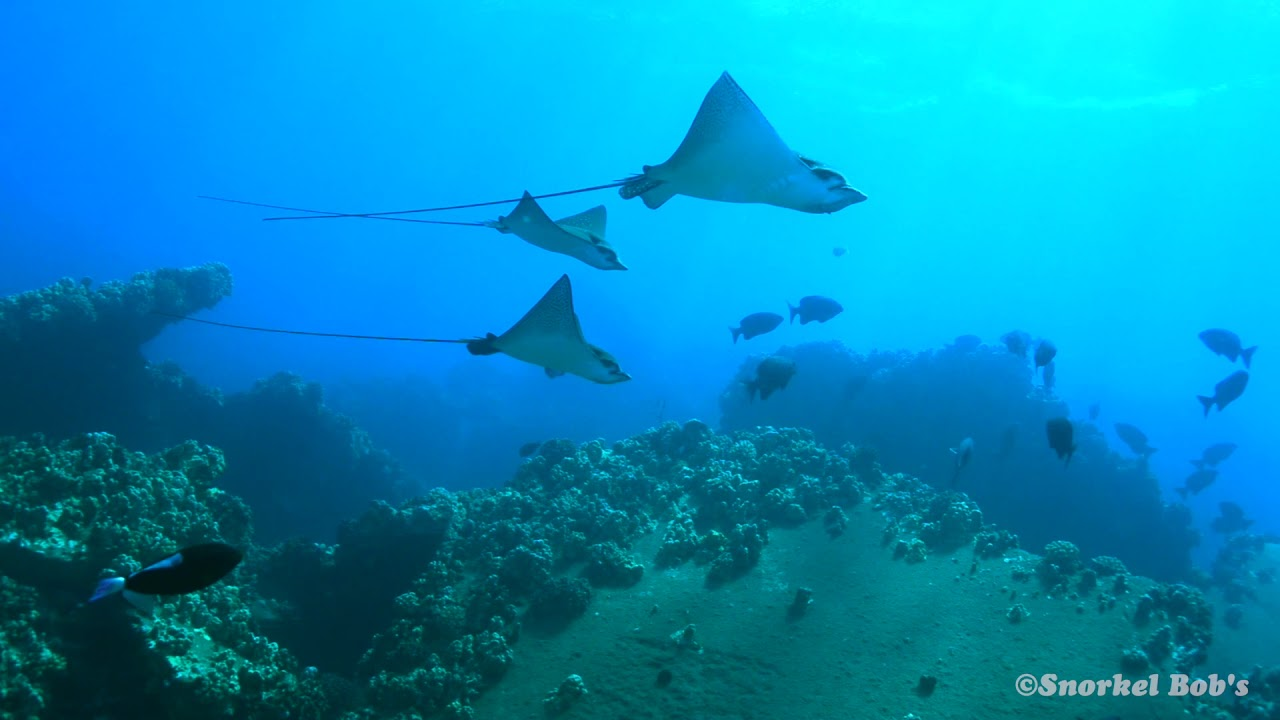 Spotted Eagle Rays-Hawaii
