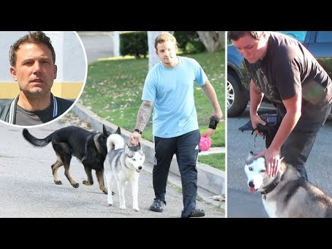 Ben Afflecks Dogs Get Loose In The Street And Paparazzi Come To The Rescue!