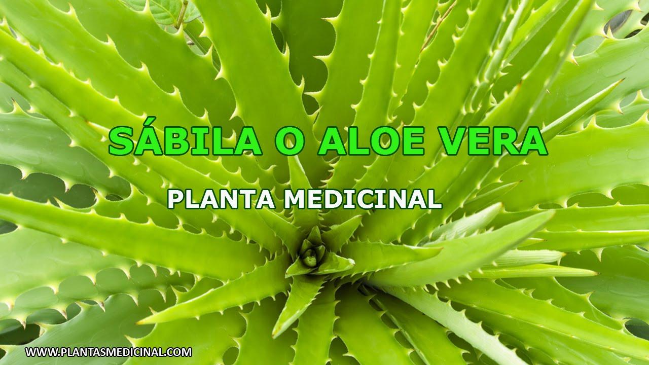 S bila o aloe vera planta medicinal youtube - Como es la planta de aloe vera ...