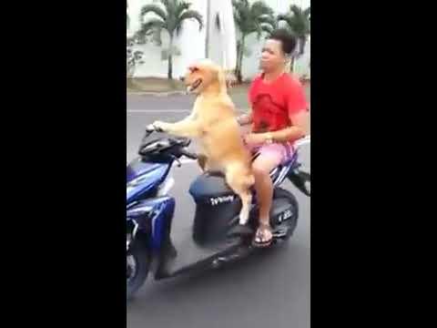 شاهد كلب يقود دراجة نارية هههههههه  فيديو مضحك 2016