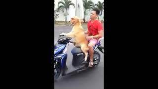 شاهد كلب يقود دراجة نارية هههههههه  فيديو مضحك 2016 Video