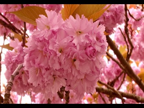Most Beautiful Cherry Blossom Flower   YouTube Most Beautiful Cherry Blossom Flower