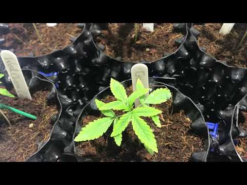 Migro Veg Tent Update.  Sensi Seeds, Dutch Passion And Council Collective Bonita X's Stoked Steve