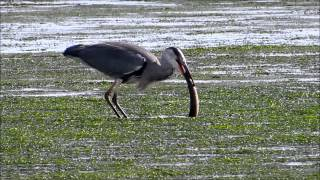 heron trying to eat eel at Keyhaven