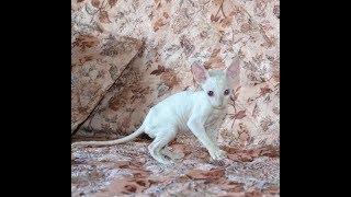 Корниш Рекс - Котёнок белый , глаза голубые.