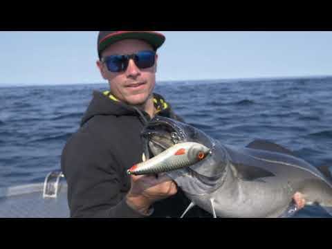 Å in Lofoten - Topwater coalfish and halibut fishing