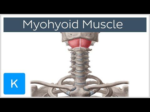 Mylohyoid Muscle - Attachments & Function - Human Anatomy |Kenhub