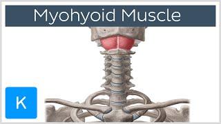 mylohyoid muscle origin insertion innervation function definition human anatomy   kenhub