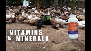 Vitamins And Minerals For Ducks │modern Farming Methods
