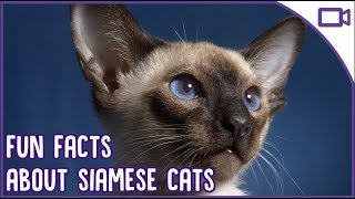 Siamese Cat Facts! The Most EXOTIC Breed?!