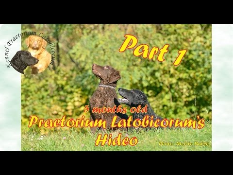 Curly Coated Retriever puppy PLs Hideo training - part 1