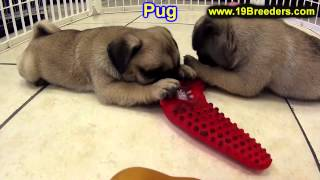 Pug, Puppies, For, Sale, In, Butte Silver Bow, Montana, Mt, Helena, Havre, Kalispell
