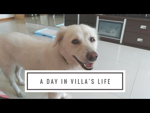 A Day In Villa's life Cross Breed Samoyed 15 Years Old Dog